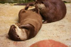 Dwarf Otter Royalty Free Stock Photography