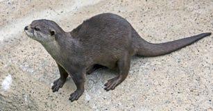 Dwarf otter 4 Royalty Free Stock Image