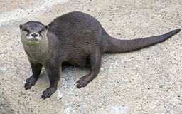Dwarf Otter 5 Stock Photo