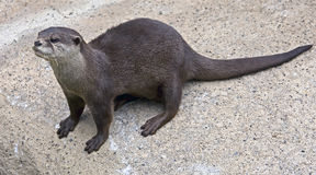 Dwarf otter 6 Royalty Free Stock Images