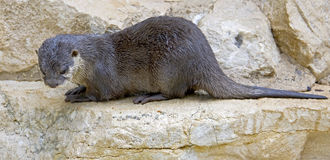 Dwarf otter 7 Royalty Free Stock Photos