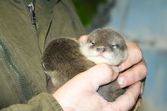 Dwarf otter baby in hand royalty free stock image
