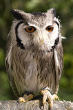 Dwarf owl Royalty Free Stock Image
