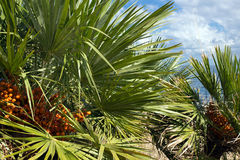 Dwarf palms, mediterranean tree, Chamaerops humilis, Sicily Stock Photo