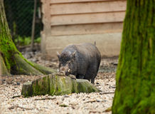 Dwarf pig in captivity Royalty Free Stock Photos