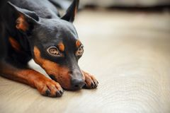 Dwarf pincher lies on the floor and looks sad eyes. Dog dwarf pincher lies on the floor and looks sad eyes Royalty Free Stock Photography
