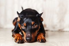 Dwarf pincher lies on the floor on a white background. Studio portrait of a dog Royalty Free Stock Photos