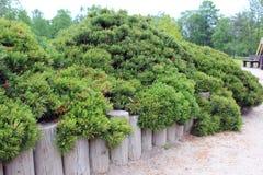 Free Dwarf Pine Stock Photo - 56453440