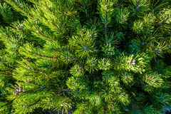 Dwarf pine from above Stock Photo