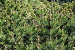 Dwarf pine. Closeup of dwarf pine, background Royalty Free Stock Photo
