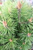Dwarf pine detail Royalty Free Stock Photography
