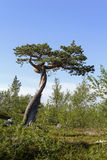 Dwarf pine. In Finnish Lapland royalty free stock photos