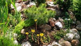 Dwarf pine and flowered stonecrop Alpine hill. Dwarf pine and blooming yellow stonecrop Alpine slide in the garden stock photos
