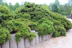 Dwarf pine Stock Photo