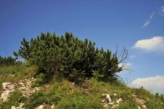 Dwarf pine tree. In the Tyrolean Alps Stock Images