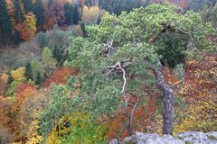 Dwarf pine trees over the autumn forest Stock Photos
