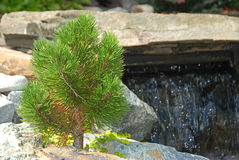 Dwarf Pine and Waterfall. A small conifer or miniature pine tree in front of boulders and rocks that form a waterfall. Could be Bosnian pine pinus leucodermis or Stock Image