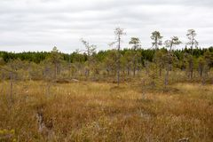 Dwarf pines in the swamp. Russian North. White Sea Stock Photo