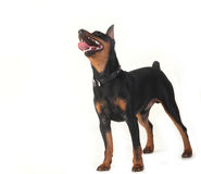 Dwarf pinscher dog Royalty Free Stock Photo
