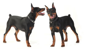 Dwarf pinscher dog Stock Images