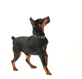 Dwarf pinscher dog Stock Image