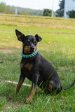 Dwarf Pinscher sits on the meadow Stock Image