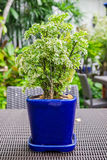 Dwarf plant ornamental in blue vase Stock Image