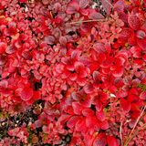 Dwarf plant with red leaves Royalty Free Stock Images