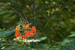 Dwarf poinciana. Close up of floral raceme on a dwarf poinciana tree Stock Photography
