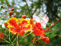 Dwarf Poinciana Royalty Free Stock Images
