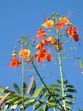 Dwarf poinciana Caesalpinia pulcherrima: flowers with a brilliant mix of yellow, orange to red stock photography