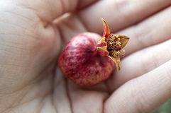 Dwarf pomegranate fruit in palm. Small red ripe fruit of dwarf pomegranate variety grown indoors in palm close up, crop of punica granatum var. nana, planted as stock photo