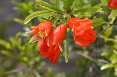 Dwarf pomegranate Latin name punica granatum nana. Flowers Stock Photography