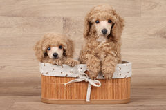 Dwarf poodle puppies in basket Stock Images