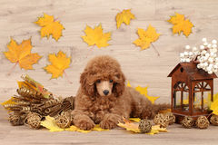 Dwarf poodle puppy. On the background of autumn leaves royalty free stock photos