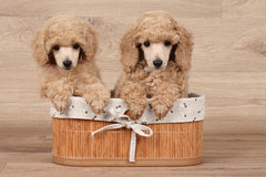 Dwarf poodle puppy in basket Royalty Free Stock Photo