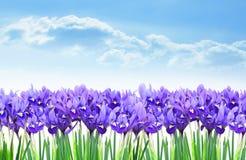Dwarf purple iris flower border in early spring. Flowerbed of purple dwarf irises in springtime royalty free stock image
