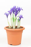 Dwarf purple iris in pot Royalty Free Stock Photography