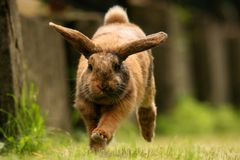 Dwarf rabbit. Running on grass. A Doe of a dwarf lop with reddish color with black, brown and grey spots on a fur. The background is very well blured Royalty Free Stock Images