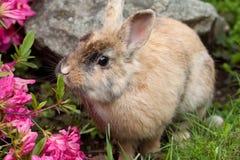 Dwarf rabbit stock images