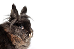Dwarf Rabbit. Portrait of a black brown dwarf rabbit with blue eyes looks at the camera in front of a white background Royalty Free Stock Photography