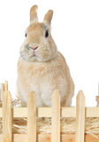 Dwarf rabbit Royalty Free Stock Photo