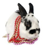 Dwarf Rabbit Royalty Free Stock Image