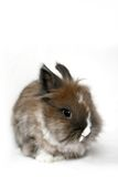 Dwarf rabbit Stock Photography