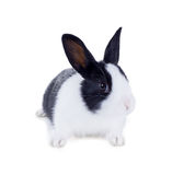 The dwarf rabbit, also known as Hollander. Isolated on white background Stock Image