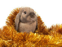 Dwarf rabbit in the Christmas tinsel. Royalty Free Stock Photo