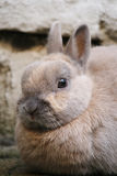 Dwarf rabbit closeup Stock Image