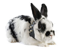 Dwarf Rabbit with collar Stock Photos
