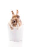 Dwarf Rabbit with Lion's head Stock Photos