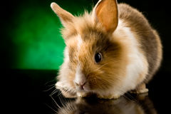 Dwarf Rabbit with Lion's head Stock Photo